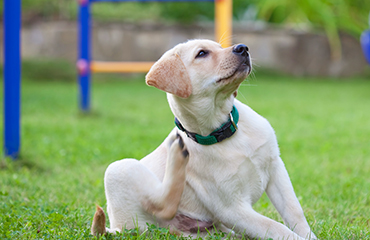 Is Your Home Making Your Dog Itchy? | Glen Iris Vet