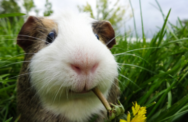 What to feed your Rabbit & Guinea pig friends | Glen Iris Vet